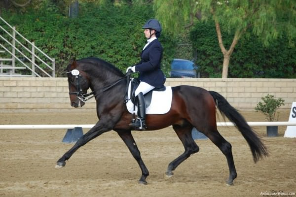 Faralay II,USDF All Breeds Awards,Dressage Awards,USPRE,Andalusian Horse Dressage,Ketcham Ranch