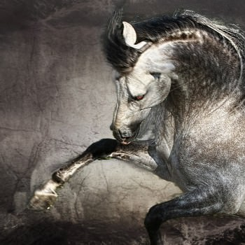 Andalusian PRE Stallions