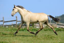 UPDATE – SOLD TO GERMANY TO A CLASSICAL TRAINER – 2014 Buckskin PRE Colt