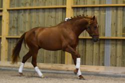 SOLD TO USA !!!!  Dressage talented chestnut 3 year old PRE andalusian stallion