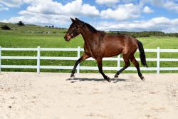 RARE OPPORTUNITY TO RIGHT HOME – DRESSAGE AND BREEDING – MY LOSS IS YOUR GAIN!