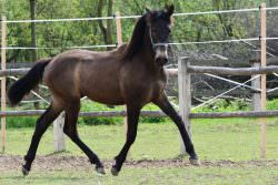 GORGEOUS PRE ANDALUSIAN BUCKSKIN COLT – DRESSAGE AND BREEDING – TOP QUALITY WITH THE MOST LOVING CHARACTER – DIVO SON OF DIVO PM AND OUT OF EXCEPTIONAL MORET II DAUGHTER